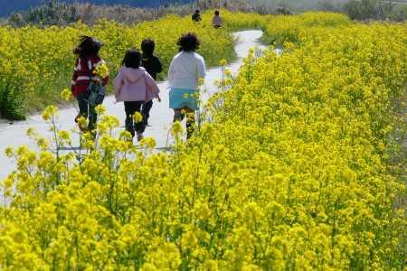 菜の花の咲く不破サイクリングロード