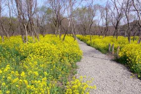 四万十市入田ヤナギ林の菜の花