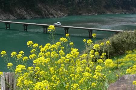 岩間沈下橋 - 菜の花