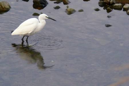 久礼川の鳥たち