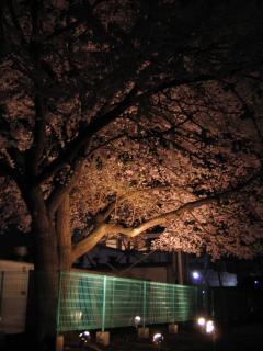 桜08.3.26