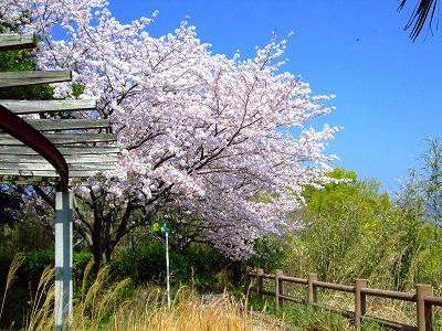 桜がまだキレイ