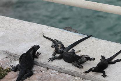 桟橋イグアナ