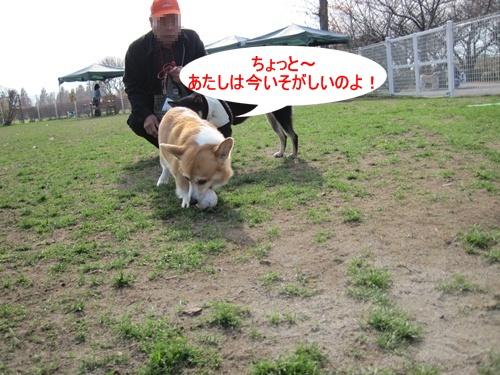 柴犬(4)