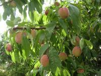 我が家の桃