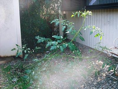 トマトの木 20日
