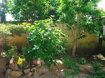 紫陽花の木成長中