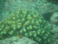 柏島ショウガサンゴ