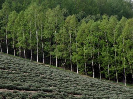 ラベンダー畑to白樺並木