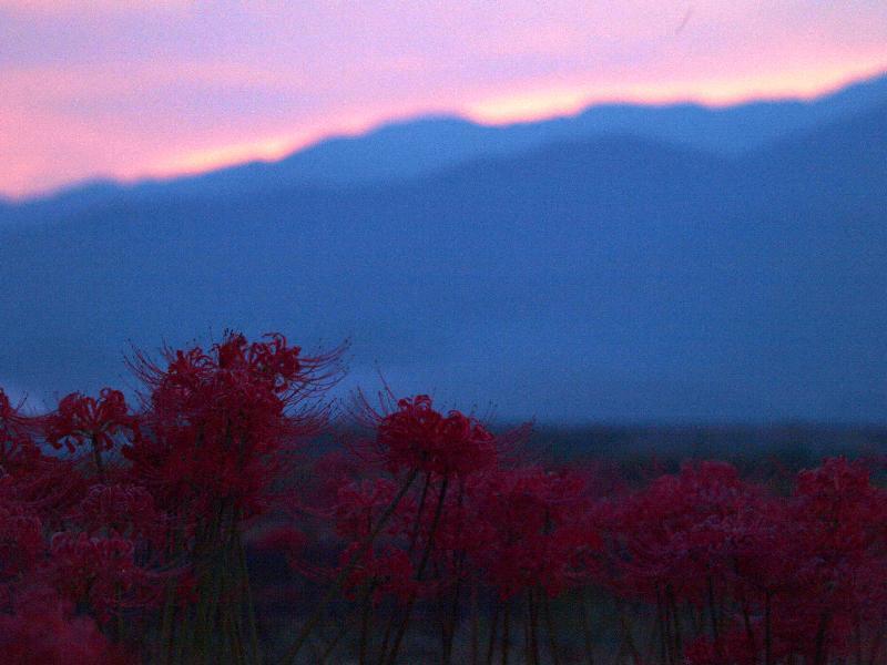 夕景 ヒガンバナ