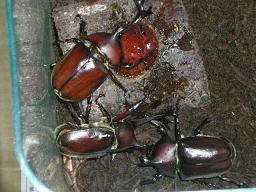 甲虫誕生2
