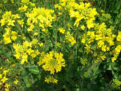 菜の花 043
