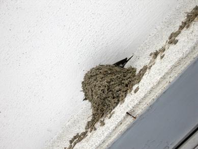 ツバメの巣。