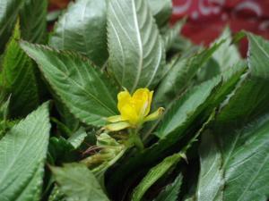 0909モロヘイヤの花