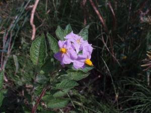 090927紫ジャガイモの花