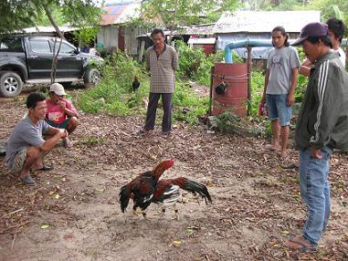 タイ・サムイ島・天気・鶏の戦い