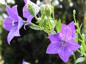 キキョウ(紫)