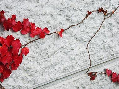 ツタの紅葉2