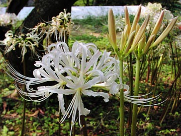 曼珠沙華「白花」