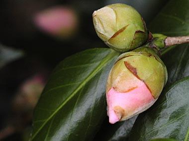 ピンクの椿2-2