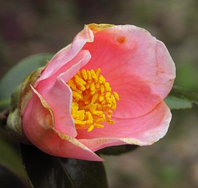 ピンクの椿3-1