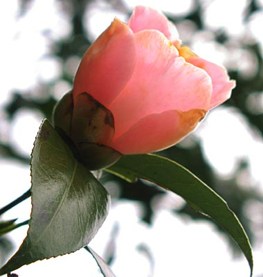 ピンクの椿3-3