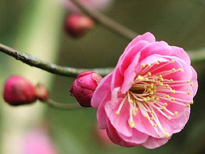 ピンクの梅1