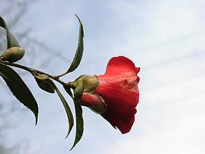 深紅の椿2-4