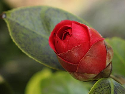 八重咲きの椿2