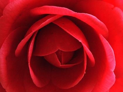 八重咲きの椿4