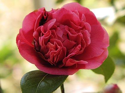八重咲きの椿2-1