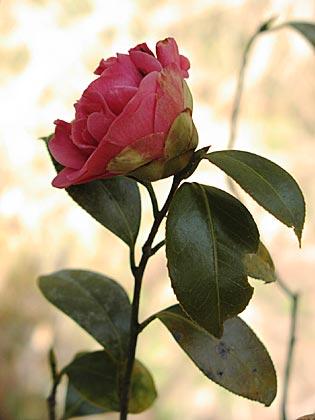 八重咲きの椿2-3