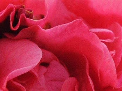 八重咲きの椿2-4