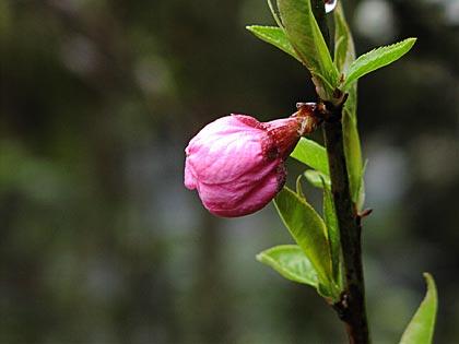 モモの花2