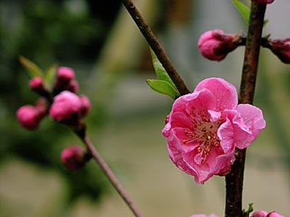モモの花3