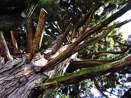 神の御杖杉2