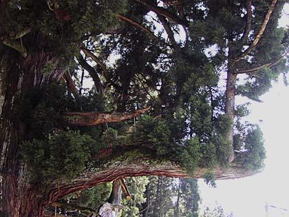 神の御杖杉3