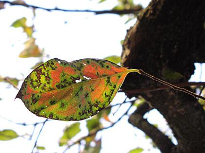 柿の照り葉1