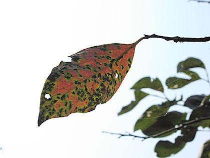 柿の照り葉2