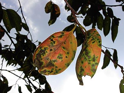 柿の照り葉3