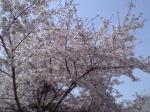 BKCジム裏の桜