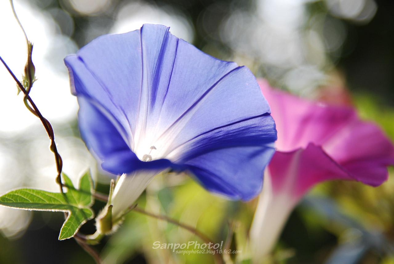 NAVER まとめ【壁紙】 夏の花 アサガオの壁紙 【朝顔】