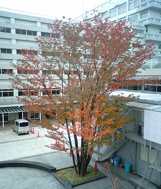 大学の山桜の紅葉