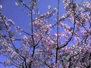 信濃町の桜