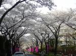 亀有の桜(その1)