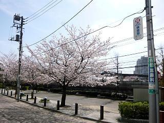 桜(その1)