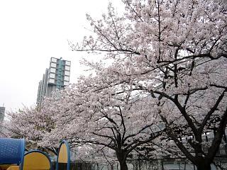 桜(その4)