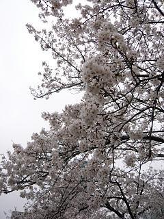 桜(その5)