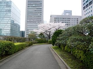 桜(その7)