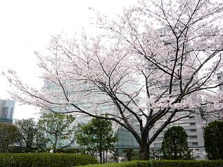 桜(その8)
